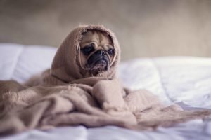 Pug with blanket wrapper around head to feel better fast